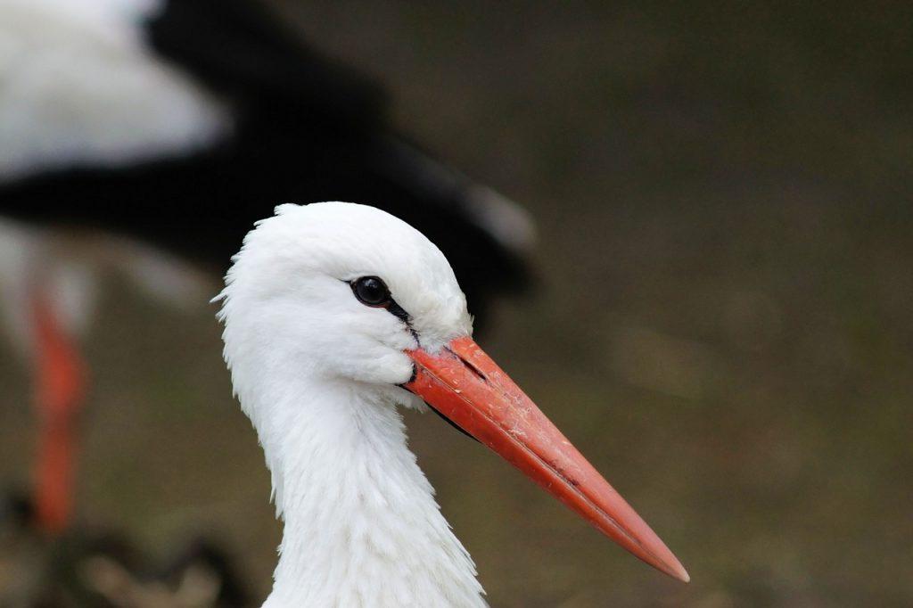 stork, bird, animal portrait