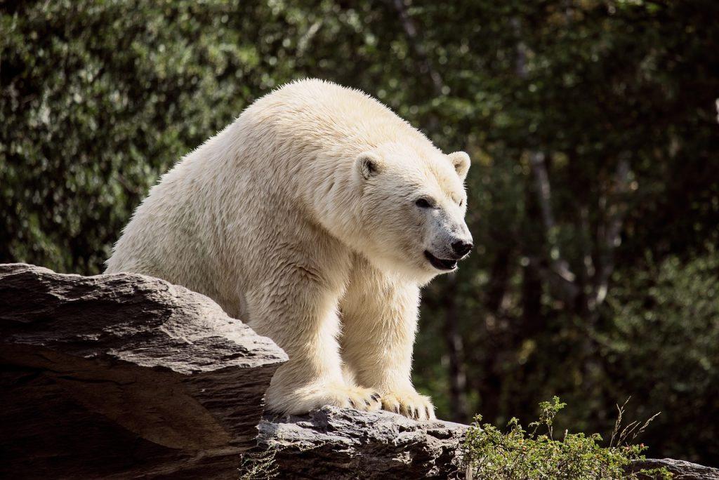 polar bear, predator, mammal