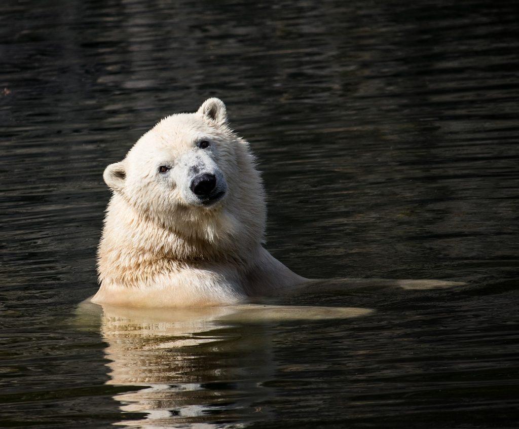 polar bear, mammal, predator