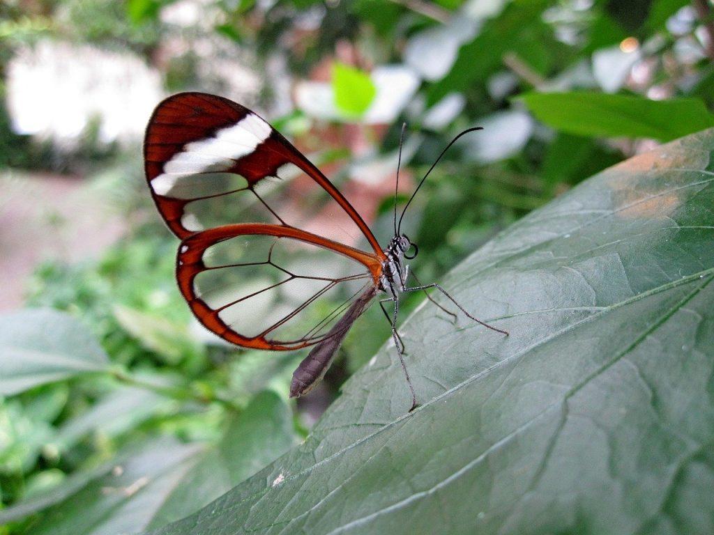 butterfly, glass wing-butterfly, haetera piera